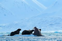 Family on cold ice. Walrus, Odobenus rosmarus, stick out from blue water on white ice with snow, Svalbard, Norway. Mother with cub Stock Images