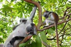 Family of colobus monkeys Stock Photo