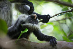 Family of colobus monkeys Royalty Free Stock Photography