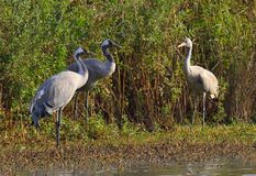 Family of Common cranes. Grus grus. Green cane background. Stock Photos