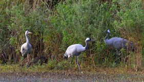 Family of Common cranes. Grus grus. Green cane background. Stock Photography