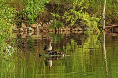 Family Common mergansers on the island Royalty Free Stock Images