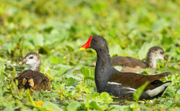 The family of Common Moorhen Royalty Free Stock Images
