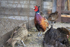 Family of Common pheasant Stock Images