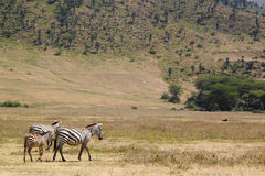 Family common zebras in Ngorongoro. A family of three common zebras, Equus Quagga, two adults and a baby, walking in Ngorongoro Conservation Area, Tanzania Stock Image