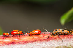 Family cotton stainer bug Stock Photography
