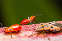 Family cotton stainer bug Royalty Free Stock Photography