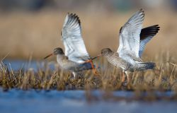 Family couple of common redshanks with lifted wings together walk in spring waterpond with low grass royalty free stock photos
