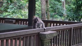 Family couple loves their baby monkeys in tropical forests of Indonesia. Wild mammals on the exotic island Bali give bright impressions tourists stock video