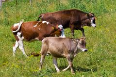 Family cows Stock Image