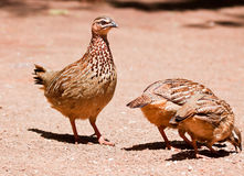 Family of Crested Francolin Stock Photo