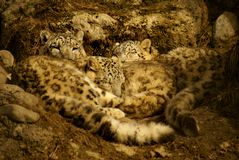 Family of cuddling snow leopards Royalty Free Stock Photography