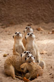 Family of curious meercats Stock Photo