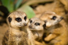 Family of cute meerkats. In their habitat Stock Photography