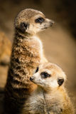 Family of cute meerkats. In their habitat Royalty Free Stock Photography