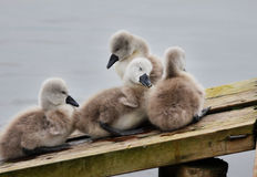 Family of Cygnets huddled together Stock Photos