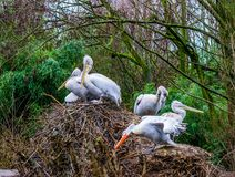 Family of dalmatian pelicans on their nest, near threatened birds from Europe, group of pelicans together. A family of dalmatian pelicans on their nest, near stock photos