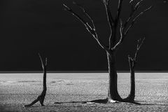 Dead trees in the desert of Namibia. Family of dead trees in harmony with the desert landscape of Namibia Royalty Free Stock Photos