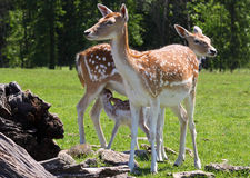 A family of deer. Stands near guarding the baby fawn while she drinks Stock Photos