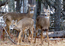 Family of deer Royalty Free Stock Photography