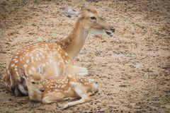 Family deer in the farm. Relax time on day. Image royalty free stock image