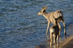 Family of Deer Walking Along the Water's Edge. Family of Deer Walking Along the Blue Water's Edge Royalty Free Stock Photos