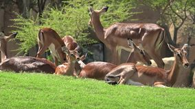 Family of deer wild animals. Wild life animals in nature stock video