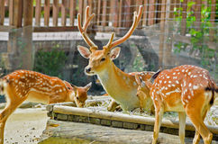 Family Deer in the Zoo. Baby deer with mom Royalty Free Stock Photography