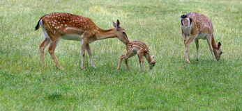 Family of deer in green grass Royalty Free Stock Photos