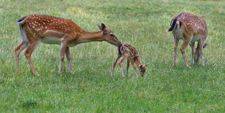 Family of deer in green grass. Royalty Free Stock Image
