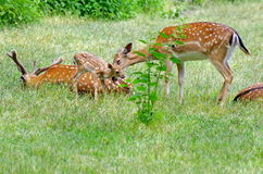 Family of deer in green grass Royalty Free Stock Photo
