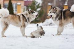 Family dog breed of malamutes Royalty Free Stock Photos