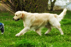 Family dog Golden Retriever runs trot a man on a leash Royalty Free Stock Photos