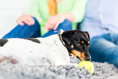 Family dog playing with ball in living room Royalty Free Stock Photography