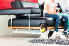Family dog playing with ball in living room Royalty Free Stock Images