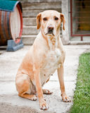 Family dog sitting in garden. Looking at camera Stock Photography
