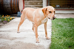 Family dog standing and waiting. Family dog standing in garden looking at camera Stock Images
