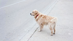 Family dog at street. Family dog standing at street looking in distance Royalty Free Stock Photography