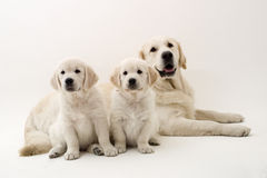 Family dogs Stock Images