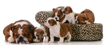 Family of dogs Stock Images