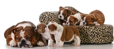 Family of dogs Royalty Free Stock Photography