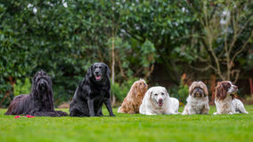 A family of dogs Royalty Free Stock Images
