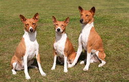 Family of dogs sitting together. Elderly mother hound and two offspring Royalty Free Stock Photo