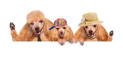 Family of dogs. Royalty Free Stock Photo