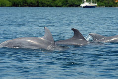 Family of dolphins royalty free stock image