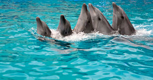 Family of dolphins dances Stock Photos