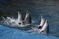 Family of dolphins royalty free stock photography