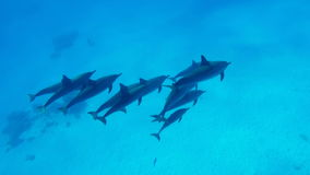 A family of dolphins swims in the clear water of the Red Sea in Egypt. A family of happy bottlenose wild dolphins swims in the clear water of the Red Sea in stock video footage