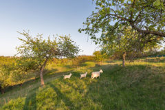 Family of domestic goats in a pasture spring orchard Royalty Free Stock Photography