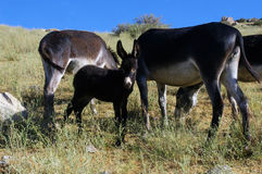 Family of donkeys. Royalty Free Stock Photo